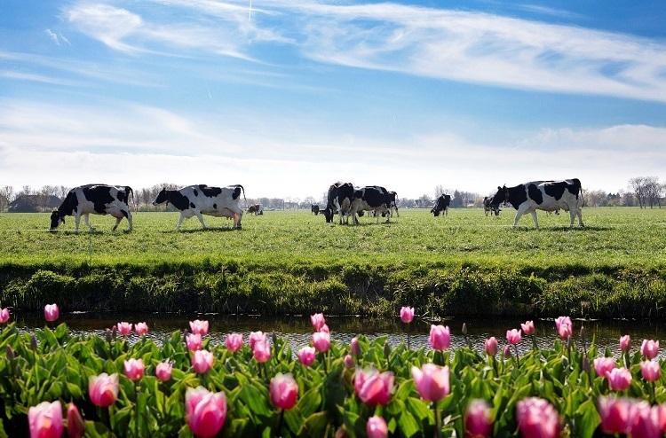 FrieslandCampina sản xuất sữa Cô Gái Hà Lan dựa trên chất lượng đồng cỏ và đàn bò giống tốt Hà Lan.