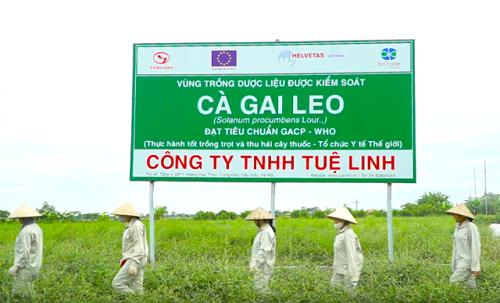 Vùng trồng cà gai leo sạch Tuệ Linh đạt tiêu chuẩn GACP WHO tại Mỹ Đức Hà Nội