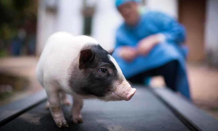Một con lợn đang được thí nghiệm biến đổi gene trong phòng thí nghiệm ở Quảng Châu - một trong số hàng chục cở sở nghiên cứu khắp Trung Quốc. Ảnh: AP