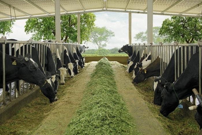Để bò có được dòng sữa đạt chuẩn Hà Lan, người nông dân bắt đầu ngày làm việc từ 4h sáng để cắt cỏ và chuẩn bị cho lần vắt sữa đầu tiên. Cỏ xanh là thức ăn chính của bò, cỏ thường được cắt đúng lứa và vào lúc nắng lên để đảm bảo độ ngon miệng và dinh dưỡng tốt. Cỏ cho bò ăn phải là loại cỏ chất lượng cao.