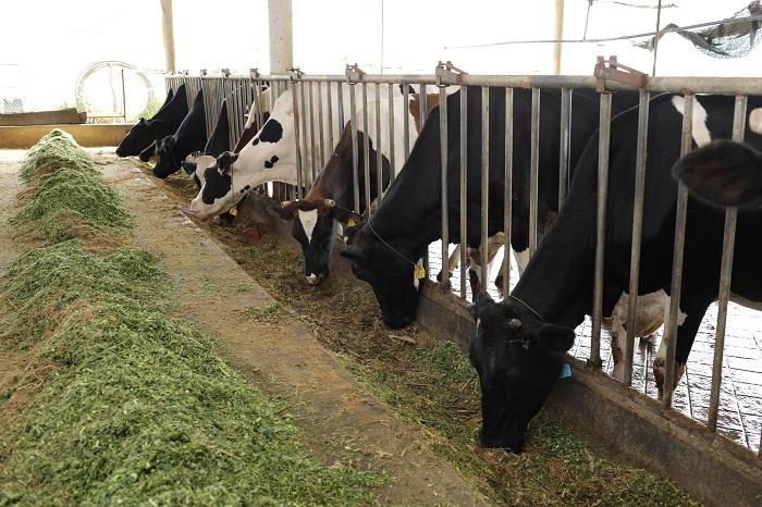 Chuồng bò xây dựng theo chuẩn Hà Lan có diện tích cho mỗi bò từ 6-10 m2 để bò được thoải mái đi lại tự do. Chuồng luôn thoáng khí, luôn có đủ thức ăn và nước uống cho bò cả ngày lẫn đêm. Chuồng trại có hệ thống làm mát cho bò. Mỗi bò đều có ô nằm riêng được trải đệm cao su êm ái để thoải mái nghỉ ngơi, nhai lại và hạn chế đau chân, đau móng.