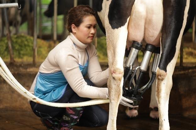 Trước khi vắt sữa, mỗi cô bò tại đây được nghe nhạc thư giãn, tắm và vệ sinh bầu vú sạch, khô bằng khăn tiệt trùng dùng một lần. Sau khi vắt sữa xong, bò được cho ăn cỏ để bò không nằm, hạn chế núm vú tiếp xúc với nền chuồng nhằm ngăn ngừa viêm.