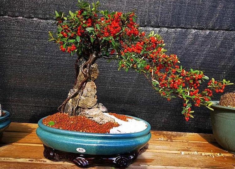 Cây táo gai ký đá tại vườn nhà ông Minh. Ảnh: NVCC.