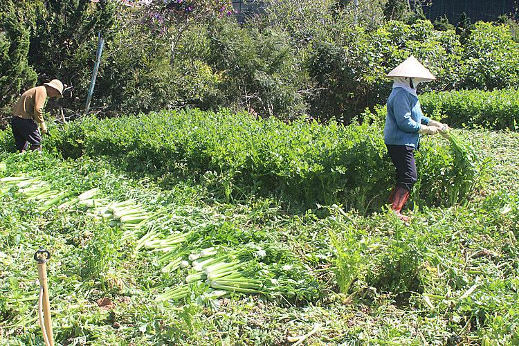 Nông dân thu hoạch Cần Tây ở Đà Lạt. Ảnh: Quốc Dũng.