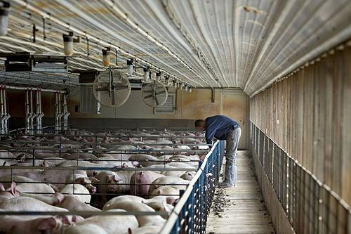 Bên trong một trang trại nuôi heo tại Mỹ. Ảnh: Bloomberg
