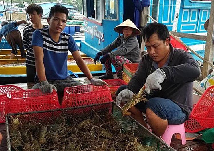 Tôm hùm trên đảo Bình Hưng- Cam Ranh. Ảnh: MH.