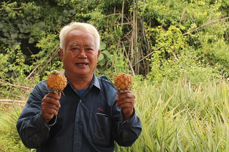 Thơm mini Thái được trồng nhiều ở Chiang Rai. Ảnh: 77kaoded.