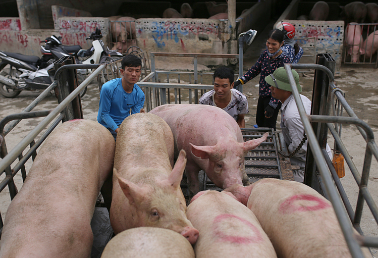 Mua bán heo hơi tại chợ gia súc ở Hà Nam. Ảnh: Tất Định.