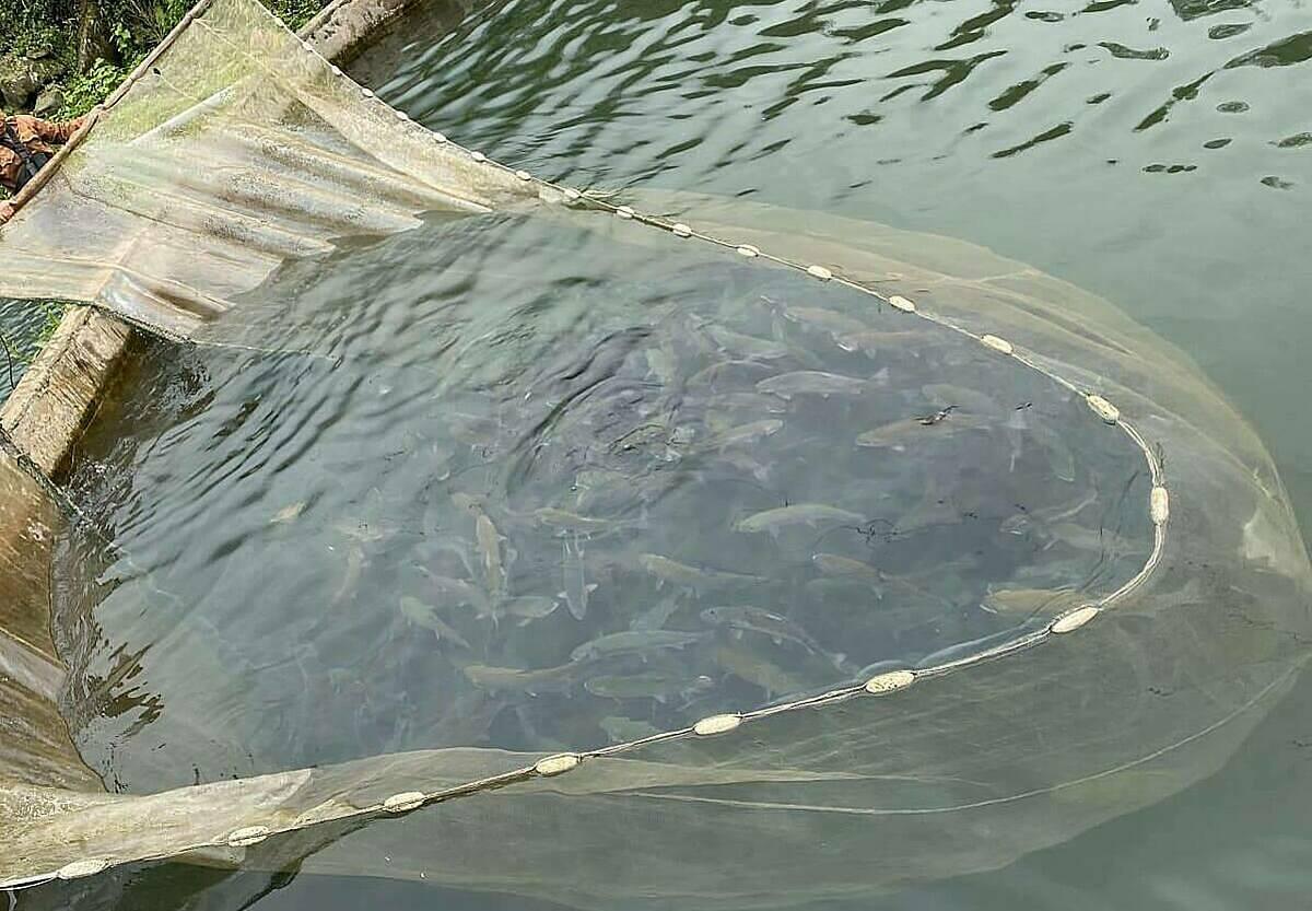 Cá hồi tại trang trại nhà anh Sỹ ở Sa Pa. Ảnh: Anh Sỹ.