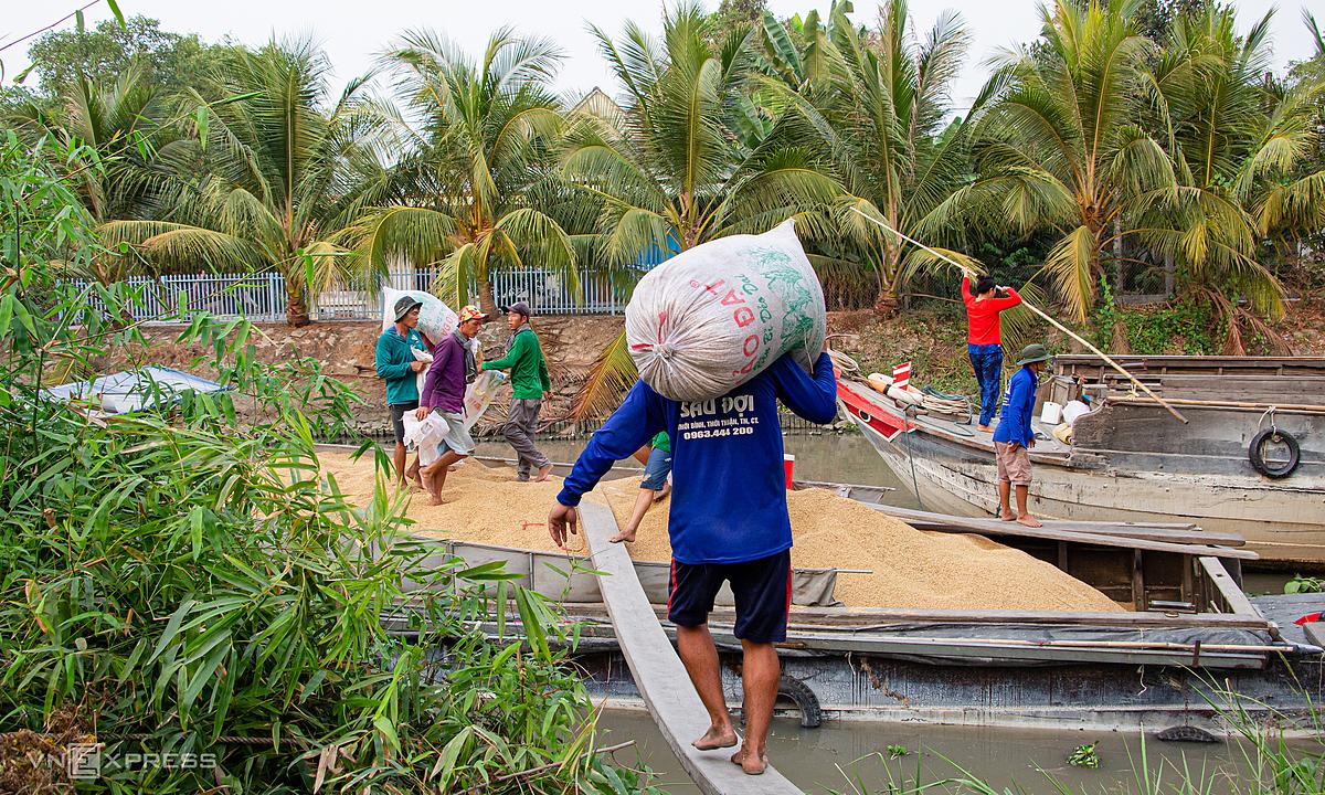 Nông dân xã Thạnh An, huyện Vĩnh Thạnh, TP Cần Thơ thu hoạch lúa vụ Đông Xuân đầu tháng 3/2020.Ảnh: Thanh Trần