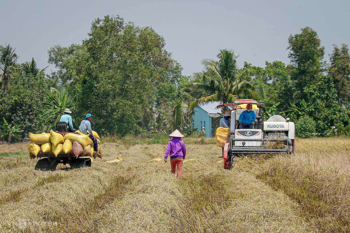 Nông dân Sóc Trăng thu hoạch lúa Đông Xuân. Ảnh: Nguyệt Nghi
