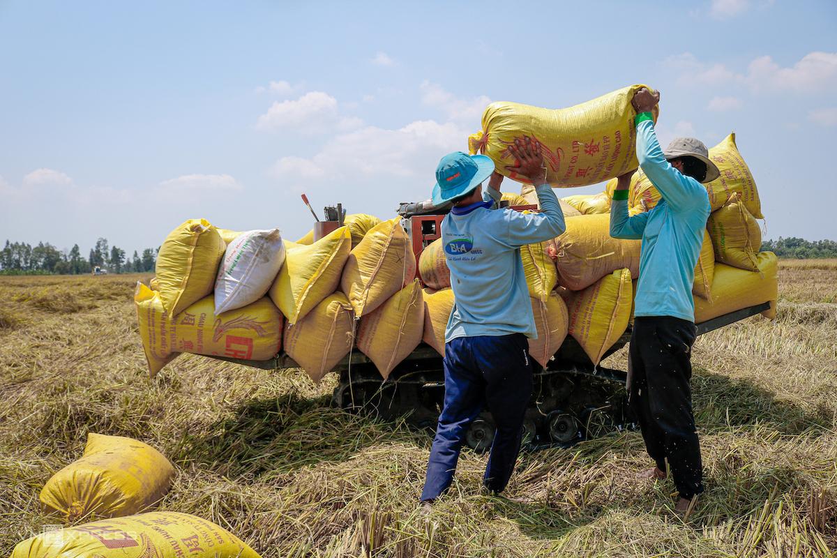 Nông dân thị xã Ngã Năm (Sóc Trăng) thu hoạch lúa vụ Đông Xuân. Ảnh chụp ngày 10/3/2020. Ảnh: Nguyệt Nhi