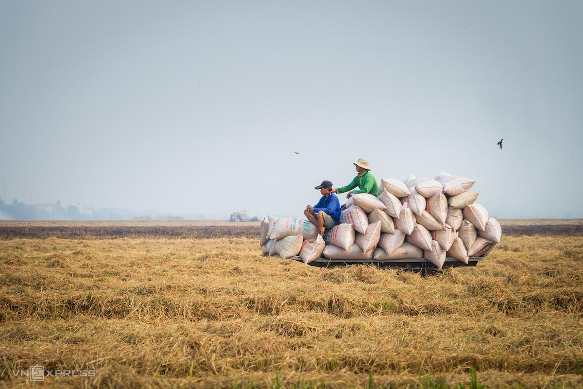 Nông dân đồng bằng sông Cửu Long thu hoạch lúa vụ Đông Xuân. Ảnh: Thanh Trần