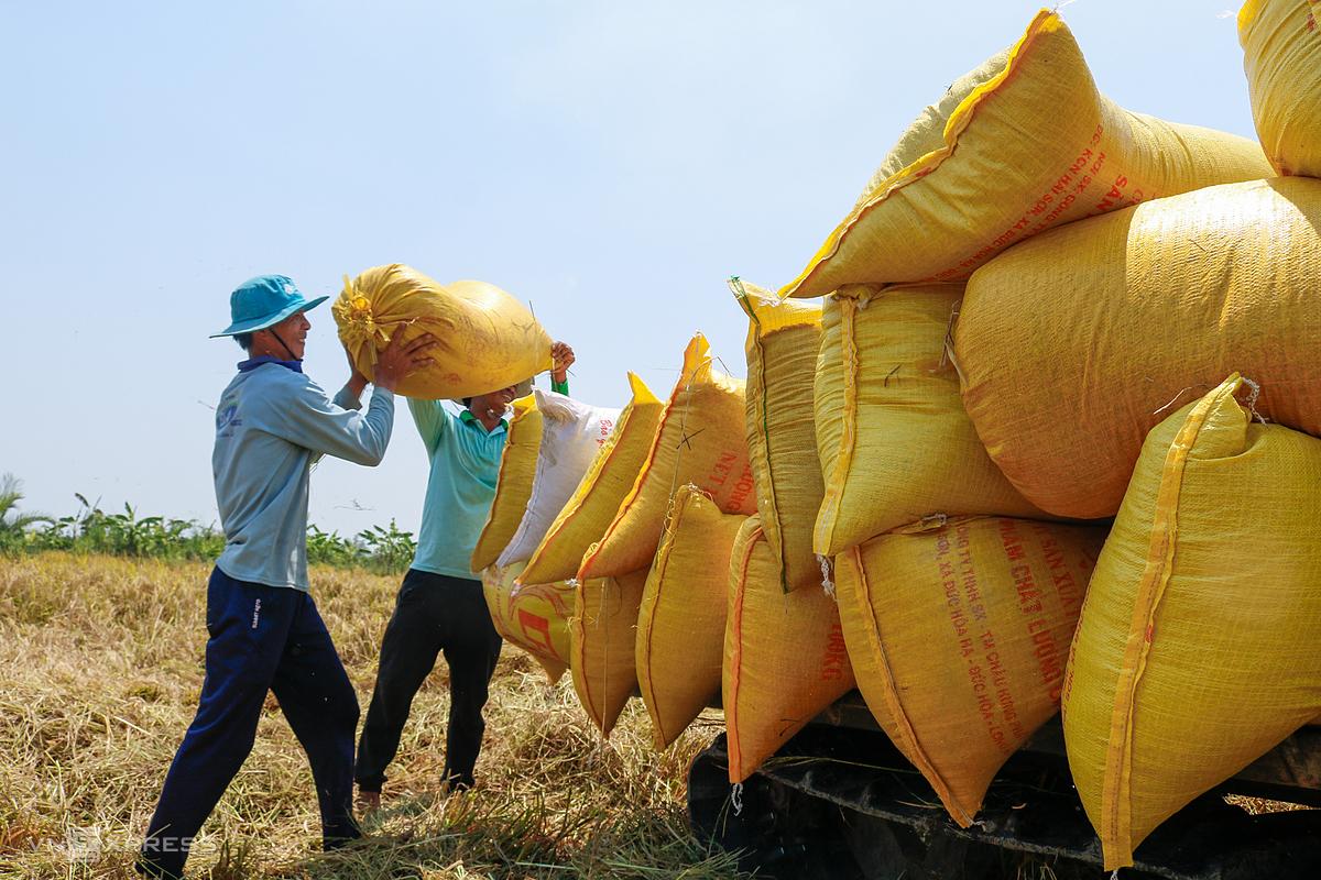 Nông dân thị xã Ngã Năm (Sóc Trăng) thu hoạch lúa vụ Đông Xuân. Ảnh: Nguyệt Nhi.