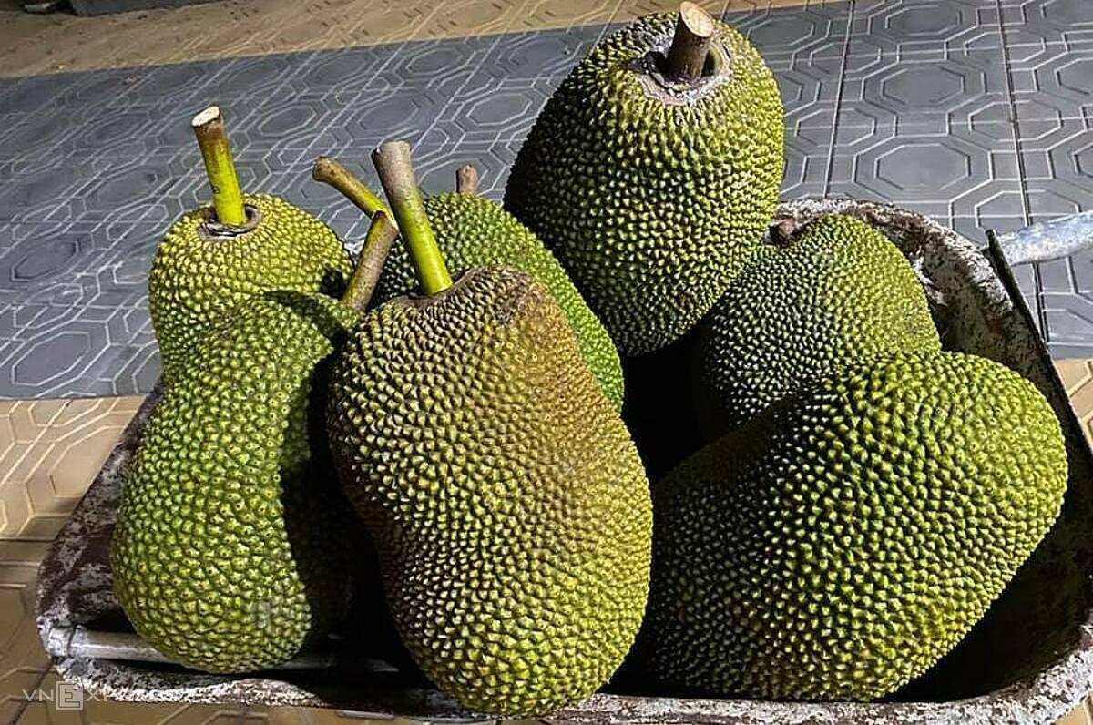 Mít Thái loại 2,3 tại vườn chỉ 4.000 -5.000 đồng một kg. Ảnh: Lê Ngân.