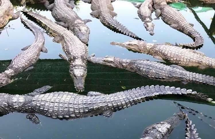 Cá sấu tại trang trại ở Bạc Liêu. Ảnh: Trang trại Phương Tín.