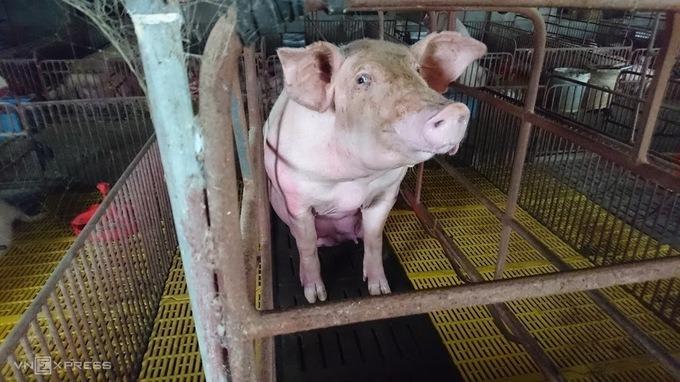 Heo được nuôi tại một trang trại ở Hà Nội. Ảnh: Thái Anh