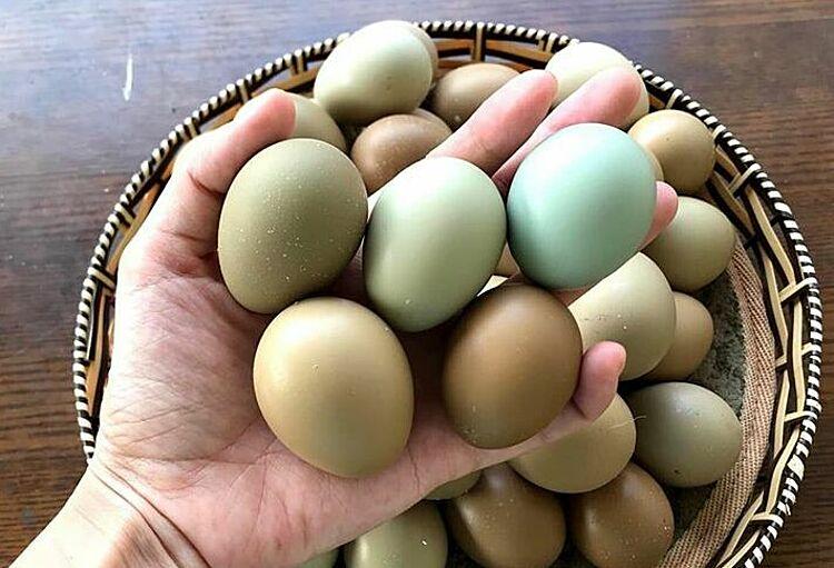 Trứng chim trĩ có màu sắc đặc biệt. Ảnh: Trần Chi.