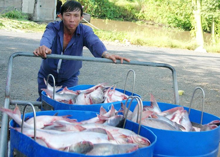 Người nuôi thu hoạch cá tra tại ĐBSCL. Ảnh: Ái Nam.