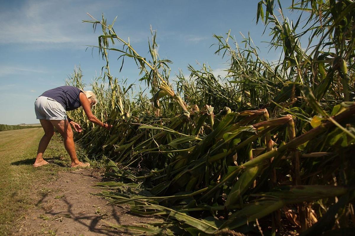 Ngô bị gãy ngọn ở một trang trại miền Trung Tây nước Mỹ gây ảnh hưởng sản lượng nhưng dự báo vụ mùa vẫn sẽ bội thu. Ảnh: Zuma Press