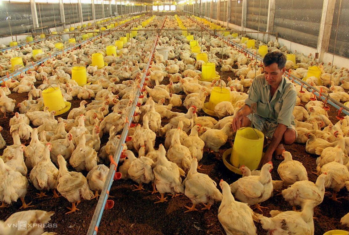 Trang trại nuôi gà công nghiệp ở Đồng Nai. Ảnh: Phước Tuấn.