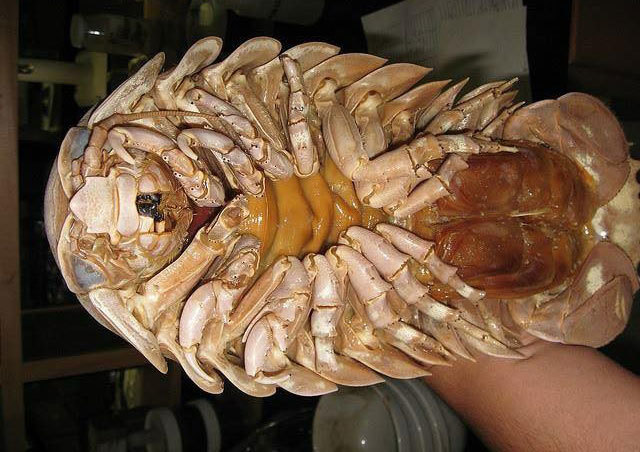 Bọ biển có chân cẳng vạm vỡ. Ảnh: Nguyễn Tây.