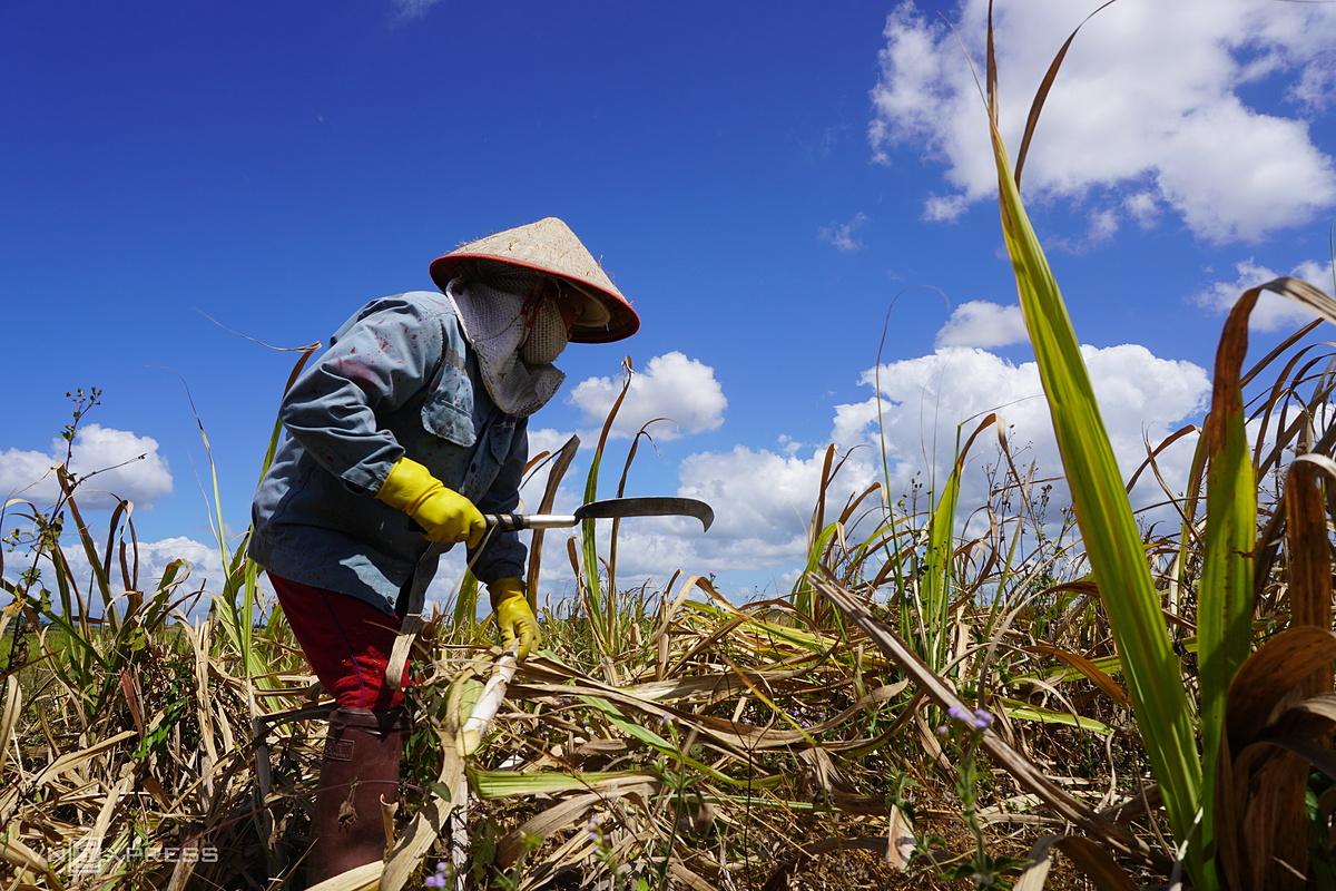 Vụ mùa đông xuân 2019-2020 bị lỗ nặng vì khô hạn, nông dân trồng mía ở An Khê, Gia Lai chặt mía cho bò ăn. Ảnh: Đức Hoa.