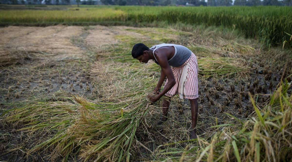 Nông dân Ấn Độ thu hoạch lúa bằng tay. Ảnh: Prashanth Vishwanathan/Bloomberg.
