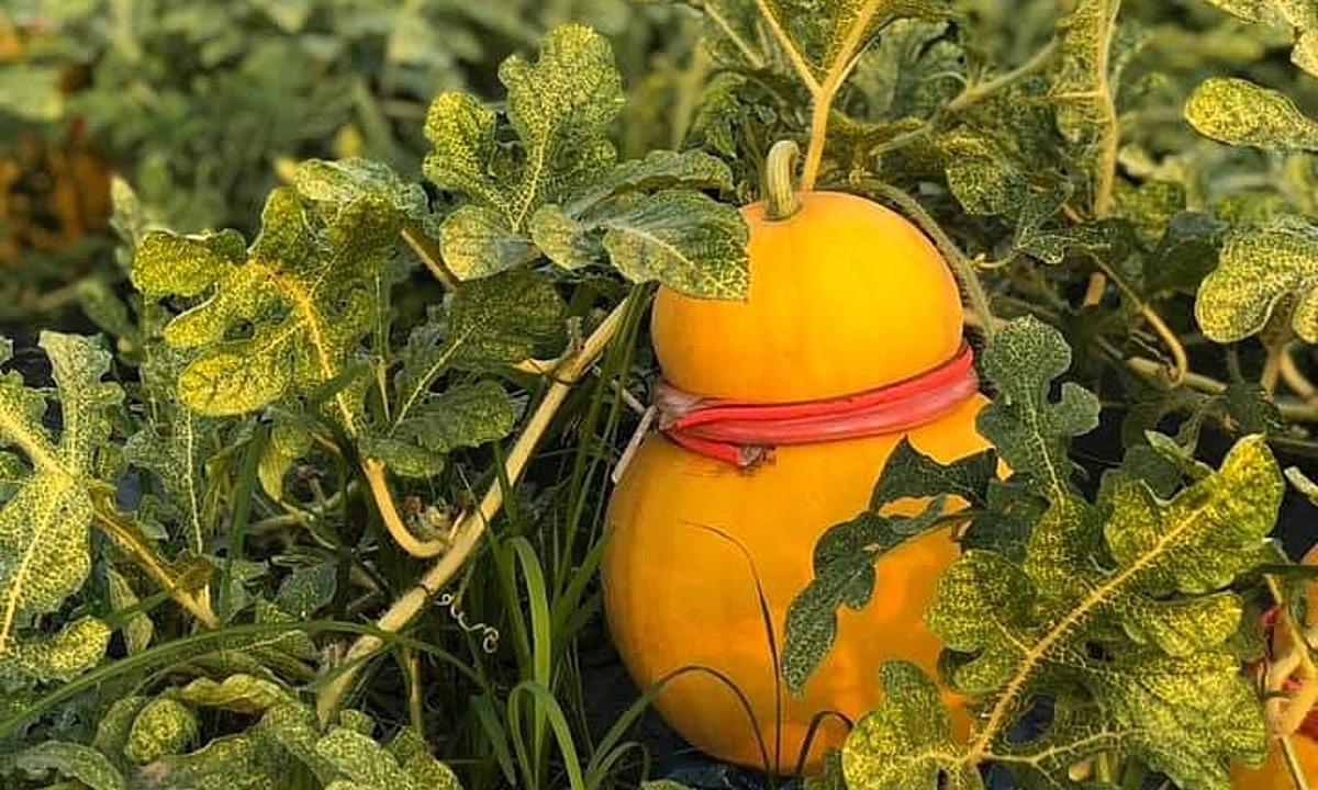 Dưa hấu hồ lô tại một ruộng trồng ở Đồng Tháp. Ảnh: An Thiên Phúc.