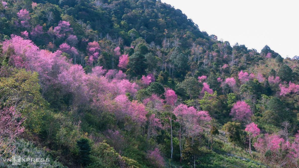 Mai anh đào trên triền núi Langbiang ở huyện Lạc Dương, Lâm Đồng nở rộ đầu năm 2021.