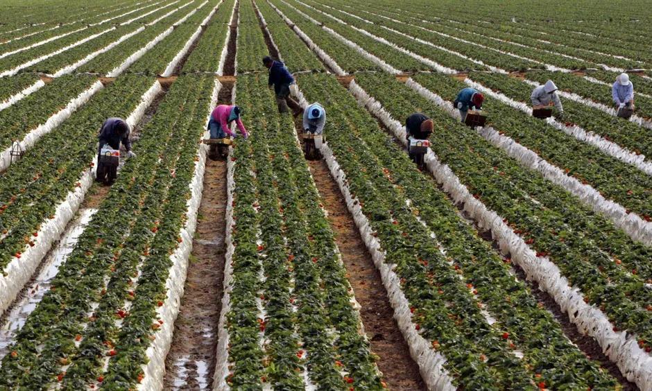 Những người hái dâu làm việc trên cánh đồng ở Oxnard, California. Ảnh: Reuters.