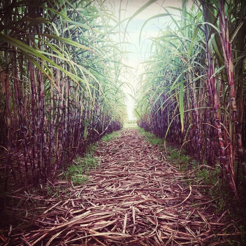 Những cánh đồng mía được trồng organic, không dùng chất kích thích hay hóa học.