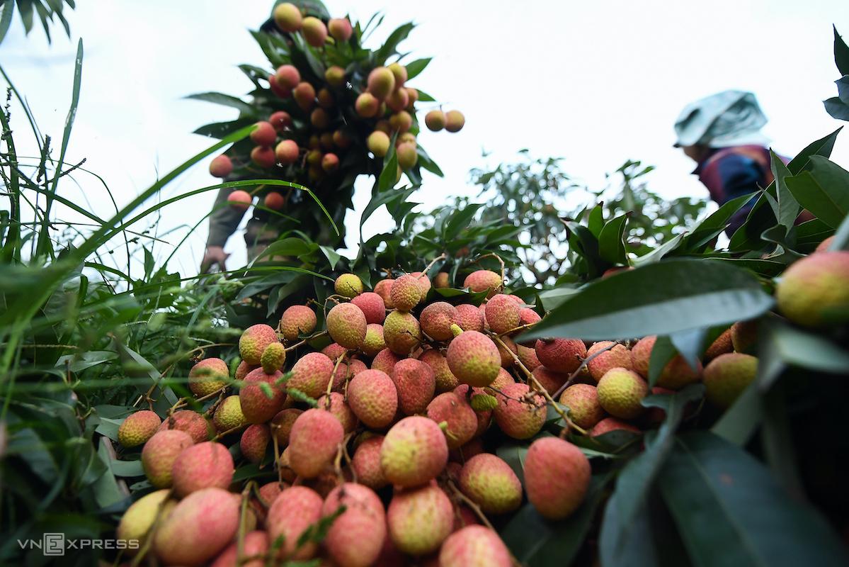 Nông dân huyện Lục Ngạn (Bắc Giang) thu hoạch vải mùa vụ 2020. Ảnh: Giang Huy