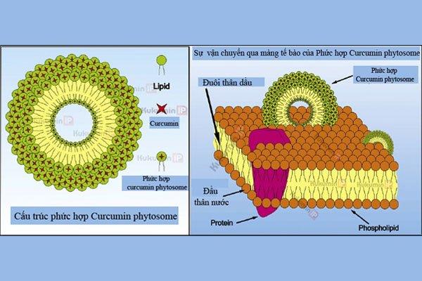 Curcumin phytosome trong sản phẩm có tính khả dụng cao.