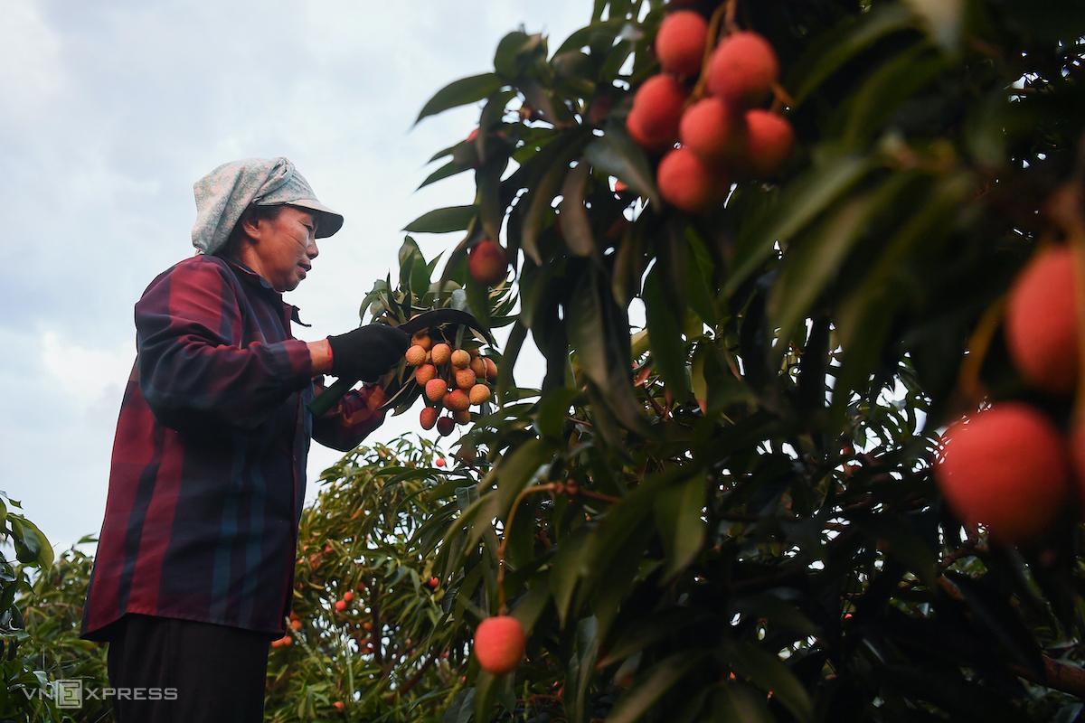 Người dân huyện Lục Ngạn (Bắc Giang) thu hái vải, mùa vụ 2020. Ảnh: Giang Huy