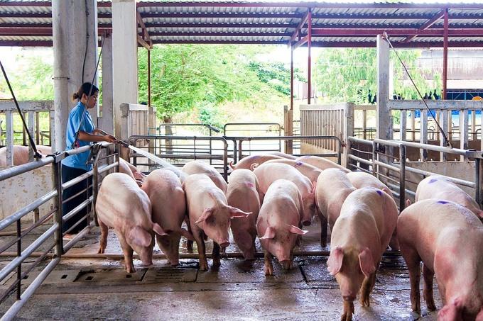 Trang trại nuôi heo tại miền Nam. Ảnh: Vissan.