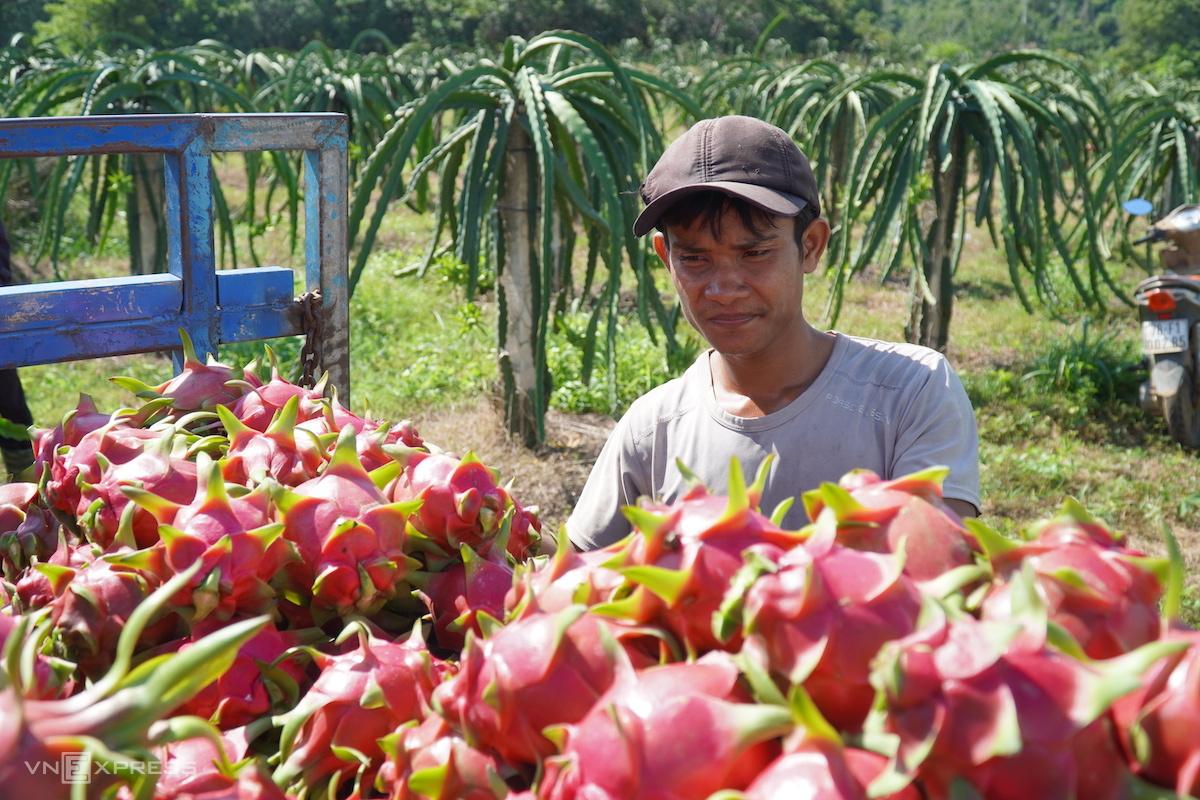 Nông dân Bình Thuận thu hoạch thanh long. Ảnh: Việt Quốc