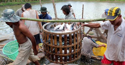 Người dân thu hoạch cá tra ở miền Tây. Ảnh: Cửu Long