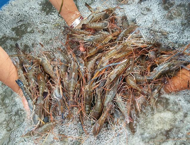 Thu hoạch tôm càng xanh tại Cà Mau. Ảnh: Thuỷ sản Việt Nam