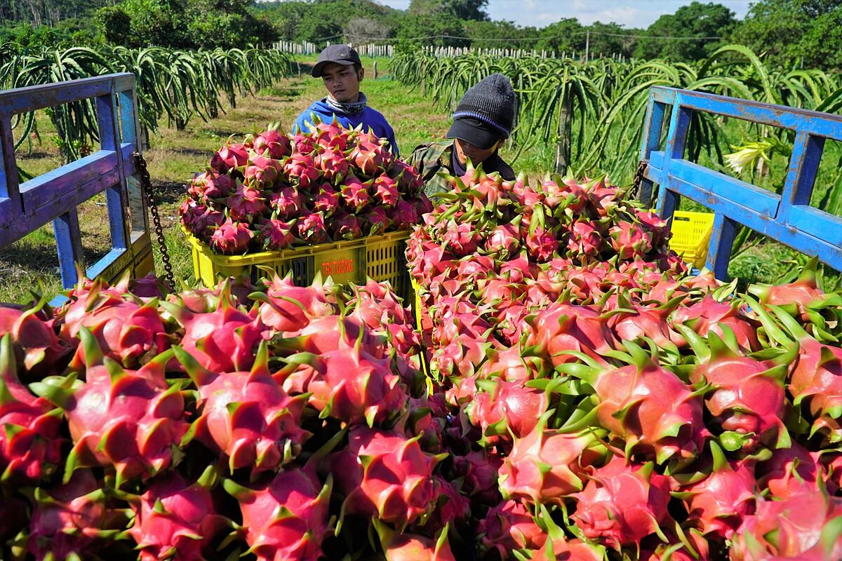 Thanh long Bình Thuận vào vụ thu hoạch nhưng giá chỉ 3.000 đồng một kg. Ảnh: Việt Quốc.
