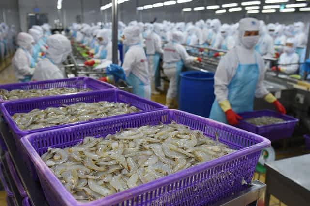 Công nhân nhà máy Minh Phú đang sơ chế tôm. Ảnh: Minh Phú