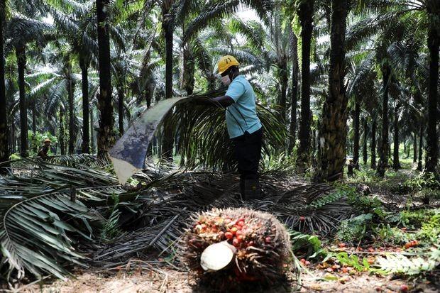 Một đồn điền dầu cọ ở Malaysia. Ảnh: Reuters