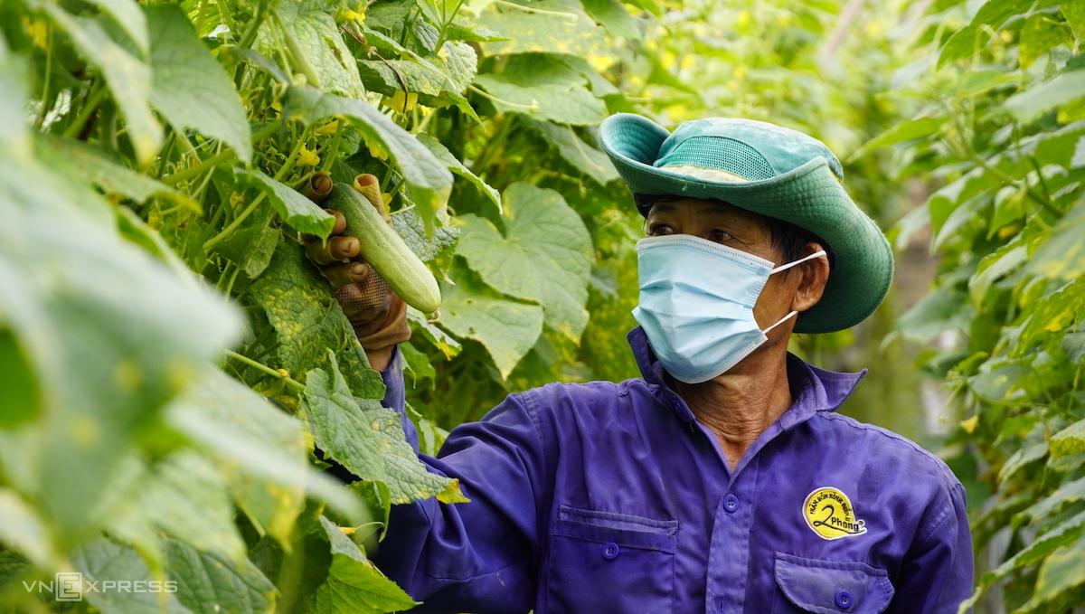 Công nhân chăm sóc cây dưa leo tại một cơ sở trồng, sản xuất nông sản ở Long An. Ảnh: Hoàng Nam