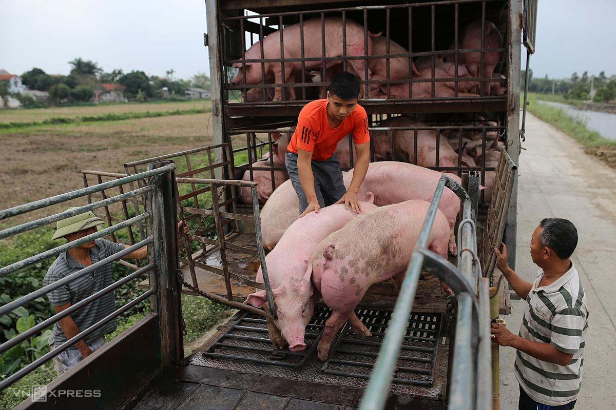 Mua bán lợn hơi ở chợ gia súc An Nội (Hà Nam). Ảnh: Tất Định