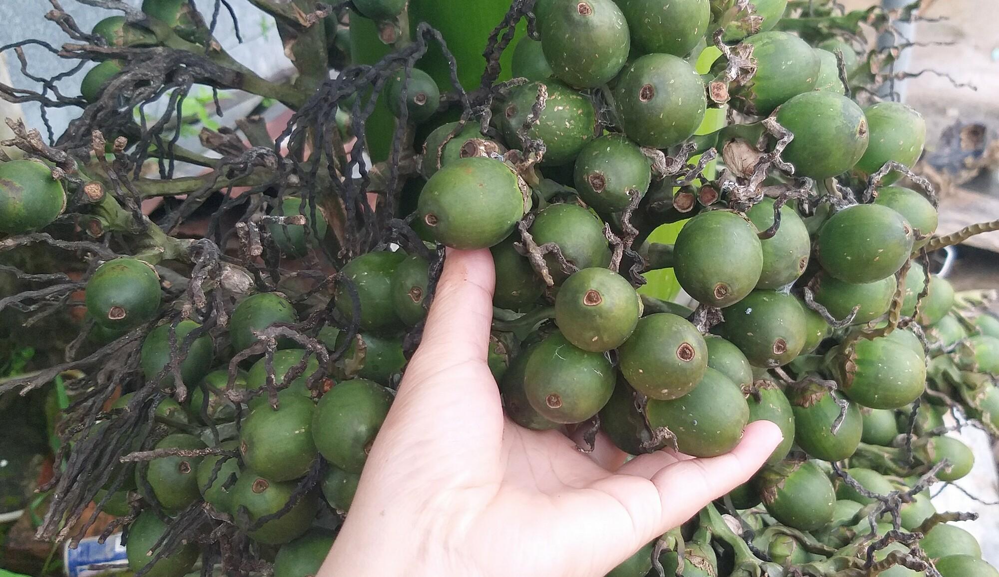 Cau tại nhà vườn ở Kon Tum. Ảnh: Hồng Châu